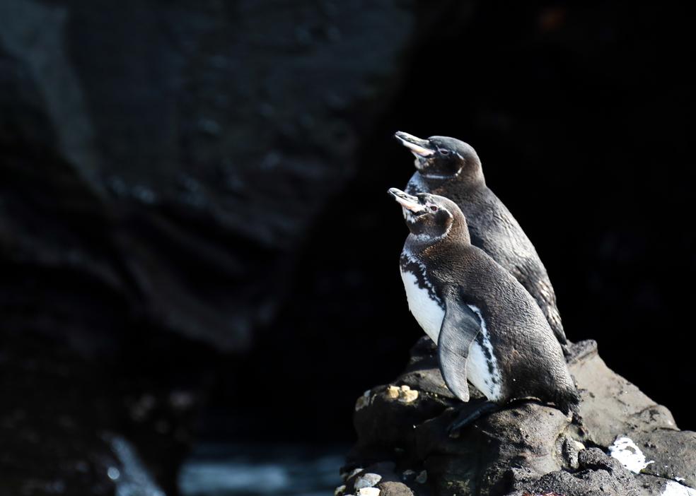 Pinguinos ©David Padilla-PNG