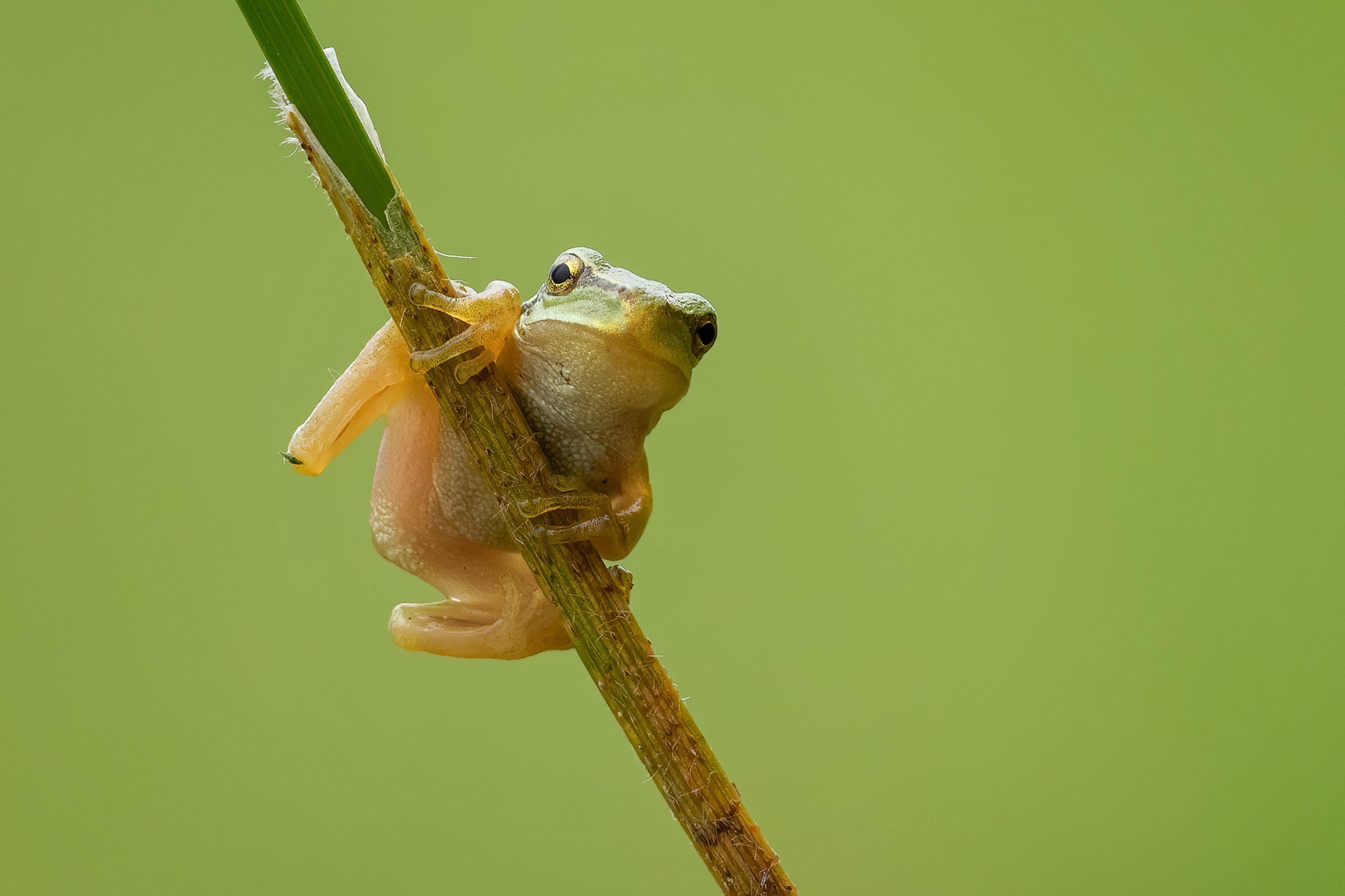 Nueva rana arborícola descubierta en Ecuador es nombrada a través de un  novedoso concurso de jóvenes conservacionistas